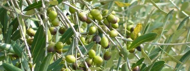 Verkauf von biologischem Olivenöl Extravergine